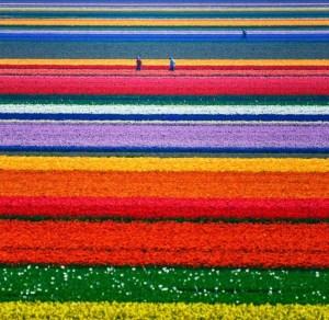tulips-2-Optimized